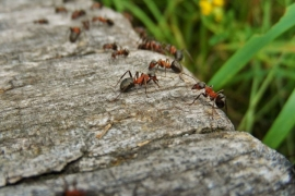 How to get rid of ants in the garden: a simple way