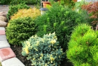 Small coniferous plants: 3 best options for the garden